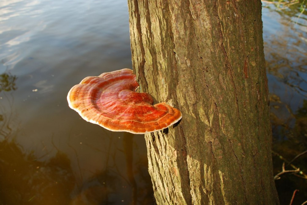 reishi on tree